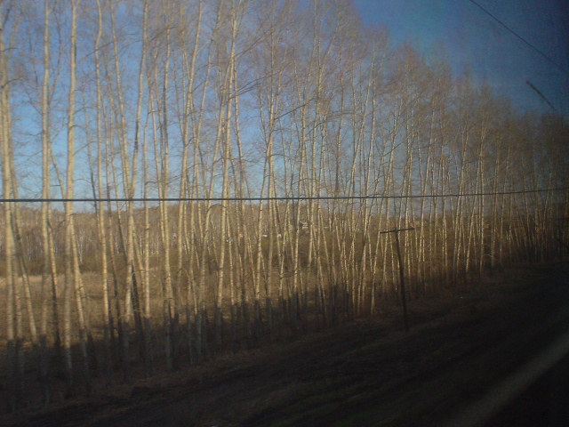 Birch trees -- there are a *lot* of these in Siberia