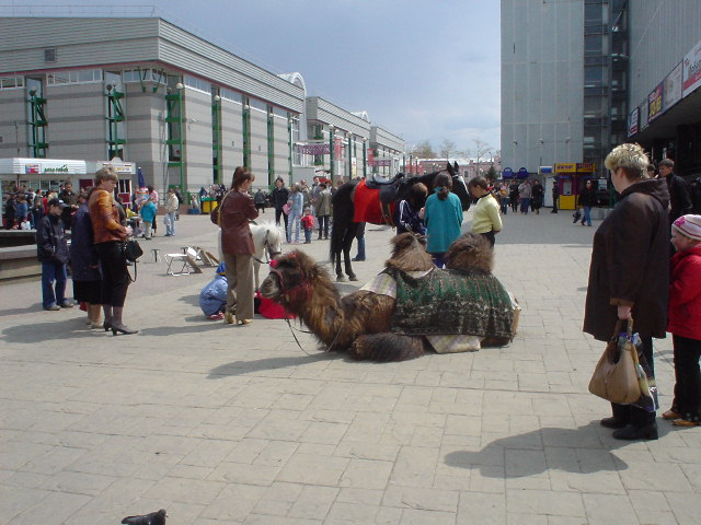 Yes, it's a camel. No, I don't know what it's doing in Irkutsk.