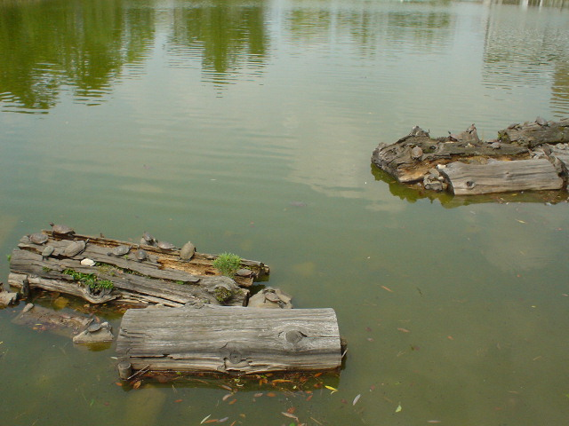 Pond o' Turtles