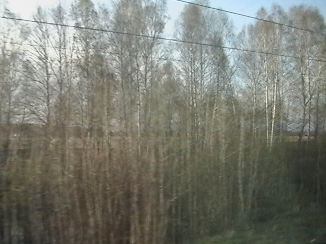 Birches, birches everywhere